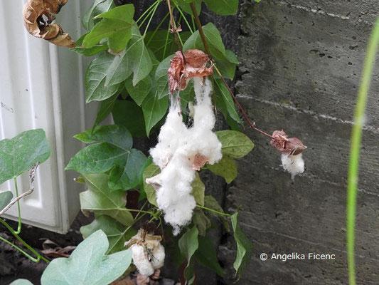Gossypium herbaceum  © Mag. Angelika Ficenc