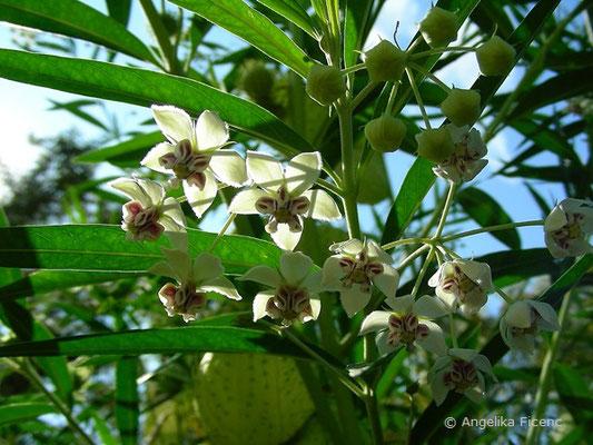 """Gomphocarpus physocarpus """"Hairy Balls"""" - Ballonpflanze, Blüten"""