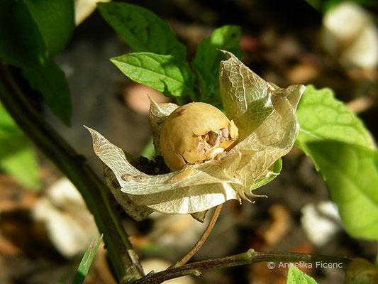 Nycandra physalodes - Blasen Giftbeere, reife Früchte mit Samen