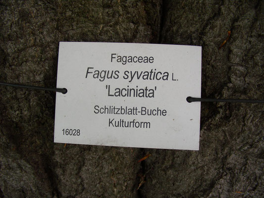 "Fagus sylvativa ""Laciniata"" - Schlitzblatt-Buche  © Mag. Angelika Ficenc"