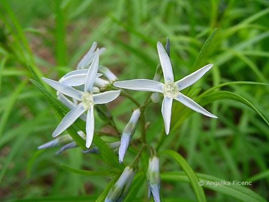 Amsonia hubrichtii - Amsonie, Blütenstand mit Blüten  © Mag. Angelika Ficenc