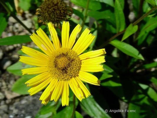 Buphtalum salicifolium