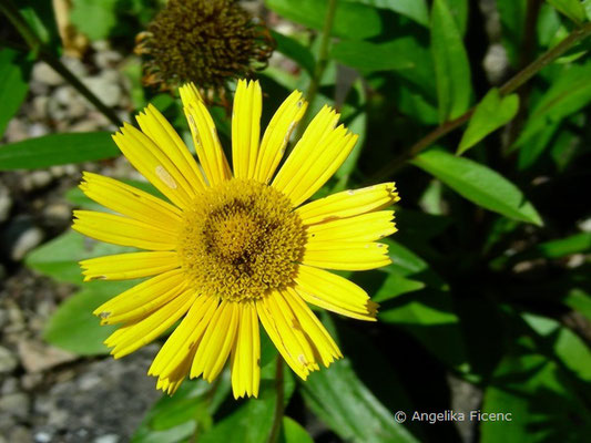 Buphtalum salicifolium  © Mag. Angelika Ficenc