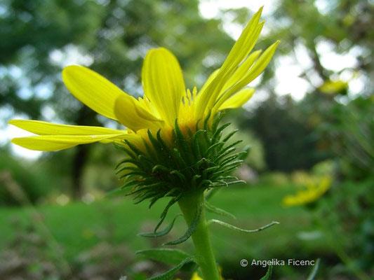 Grindelina robusta  © Mag. Angelika Ficenc