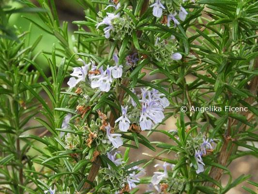 Rosmarinus officinalis  © Mag. Angelika Ficenc