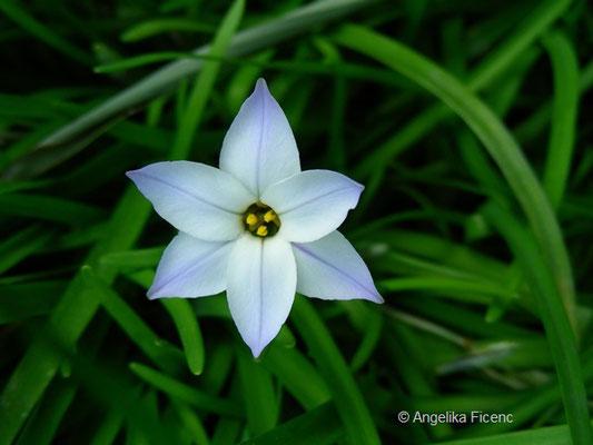 Ipheion unifloreum - Frühlingsstern, Einzelblüte Aufsicht