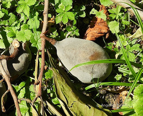 Asimina triloba    © Mag. Angelika Ficenc