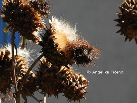 Cynara cardunculus © Mag. Angelika Ficenc