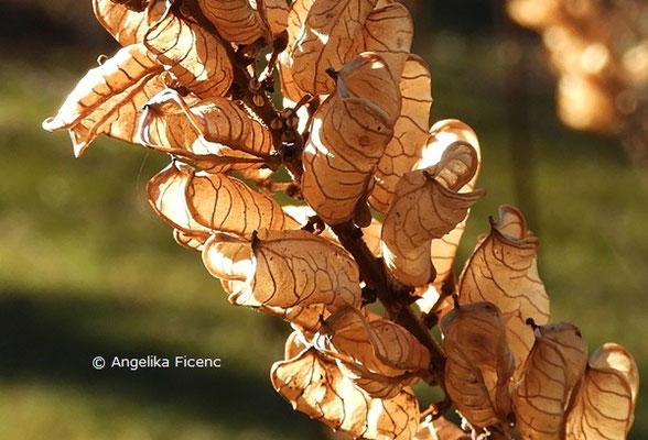 Actea japonica, Früchte  © Mag. Angelika Ficenc