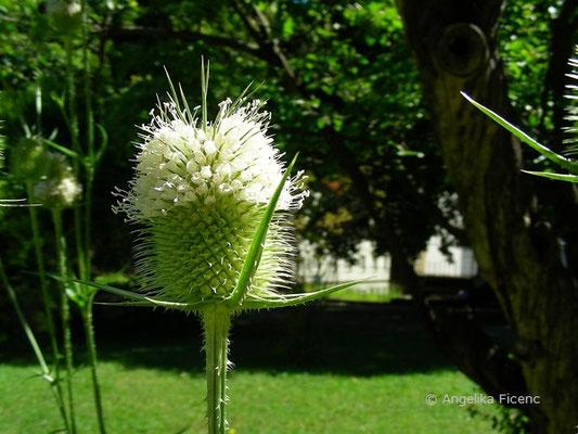 Dipsacus laciniata - Schlitzblättrige Karde  © Mag. Angelika Ficenc
