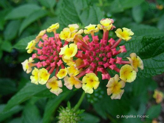 Lantana camera - Wandelröschen, Blütenstand