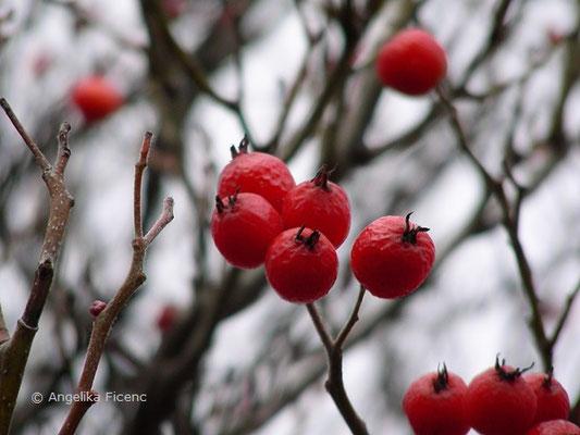 Crataegus x lavallei - Lederblättriger Weißdorn,Früchte