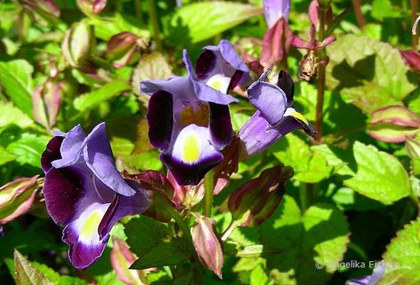 Torenia fournieri - Felsenlöwenmaul