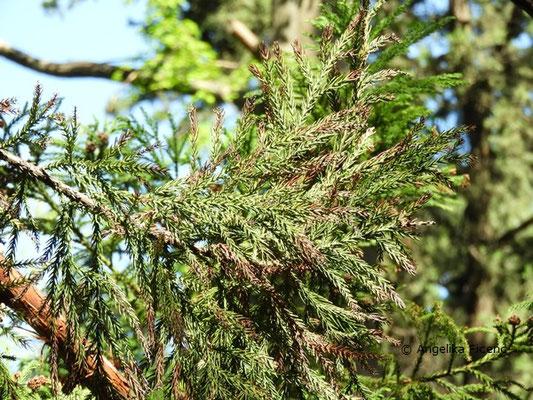 Cryptomeria japonica var. japonica - Japanische Sicheltanne