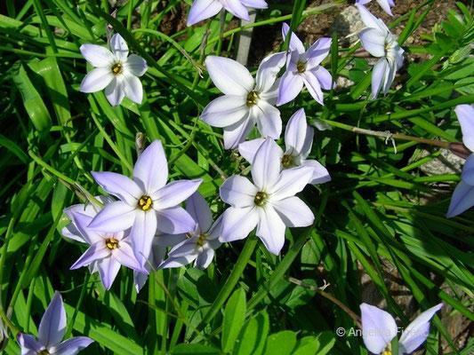 Ipheion unifloreum - Frühlingsstern    © Mag. Angelika Ficenc