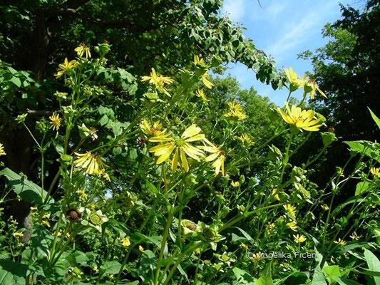 Silphium perfoliatum, Habitus