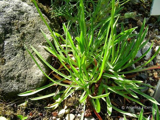 Armeria marginata, Blätter