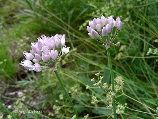 Allium senescens  - Berglauch, Habitus