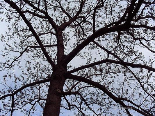 Catalpa bungei var. bungei - Bunges Trompetenbaum, Habitus im Winter