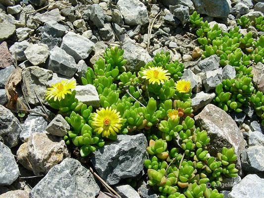 Delosperma nubigenum - Lesotho Mittagsblume