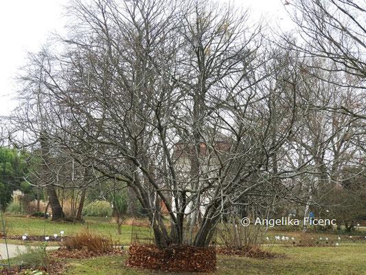 Ficus caria var. rupestris  © Mag. Angelika Ficenc