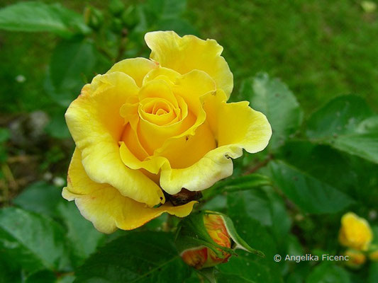 Rose  © Mag. Angelika Ficenc