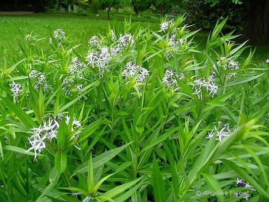 Amsonia illustris - Helle Amsonie, Habitus