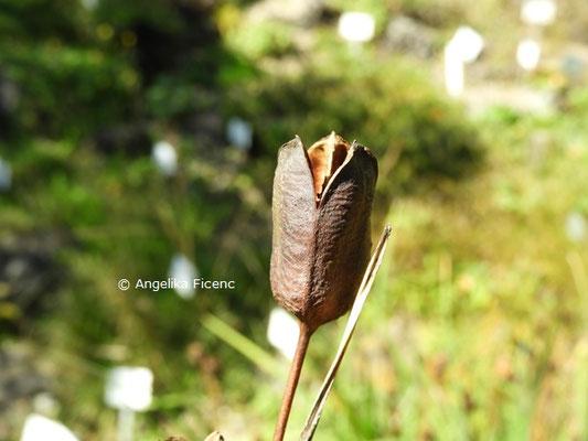 Iris sibirica   © Mag. Angelika Ficenc