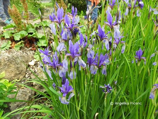 Iris sibirica - Sibirische Schwertlilie, Habitus