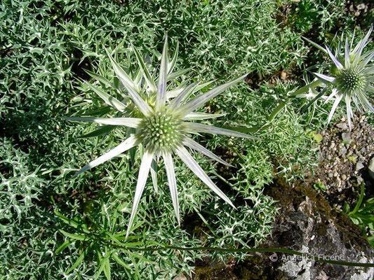 Eryngium alpinum - Alpen-Mannstreu  © Mag. Angelika Ficenc