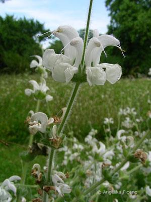 Lamium argenta - Silbersalbei, Habitus