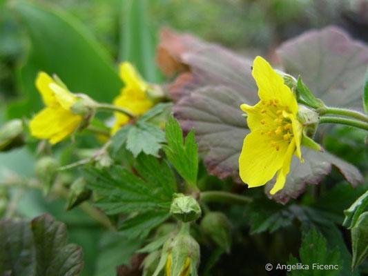 Waldsteinia geoides - Gelapptblättrige Waldsteinie