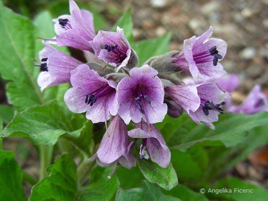 Physochlaina orientalis  © Mag. Angelika Ficenc