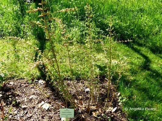 Coriaria myrtifolia - Europäischer Gerberstrauch        © Mag. Angelika Ficenc