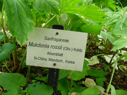 Mucdenia rossii  - Ahornblatt