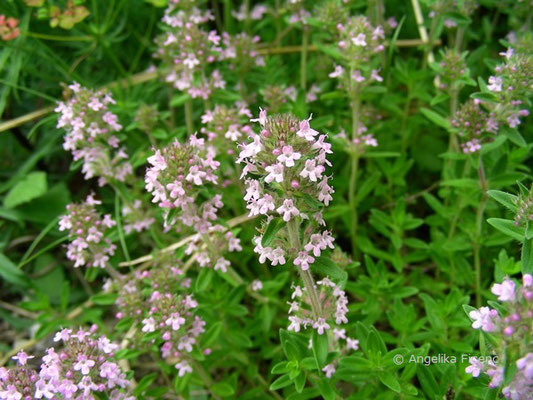 Thymus pannonicus - Steppen Thymian  © Mag. Angelika Ficenc