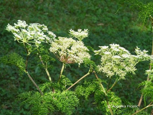 Selinum wallichianum - Kaschmirdolde, Blütendolden