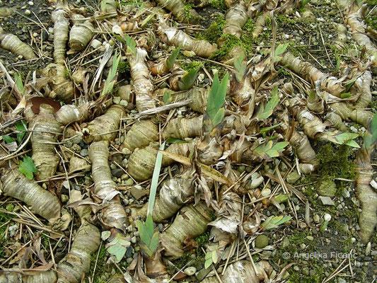 Iris macedonia, Rhizome