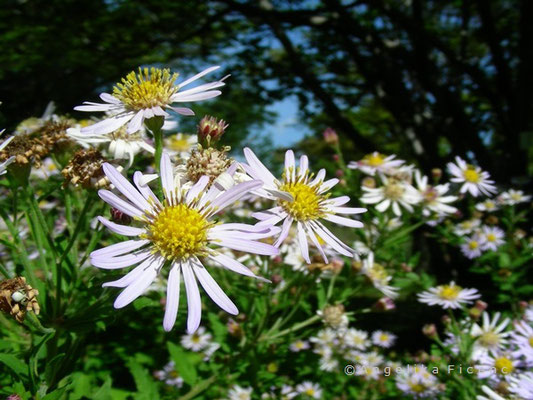 Aster ageratoides  © Mag. Angelika Ficenc