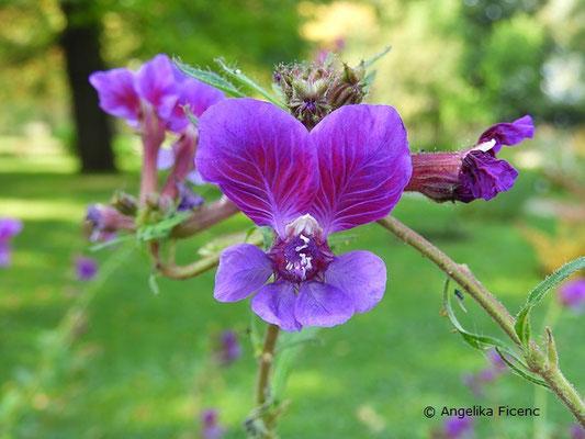 Cuphea procumbens, Blüte  © Mag. Angelika Ficenc