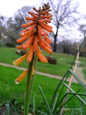 Kniphofia galpinii - Galpin Fackellilie  © Mag. Angelika Ficenc