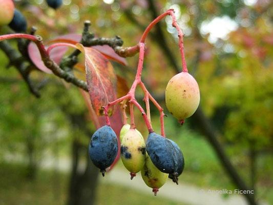 Viburnum prunifolium - Kirschblättriger Schneeball, Früchte