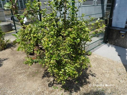 Carissa bispinosa - Dorniger Wachsbaum, Habitus