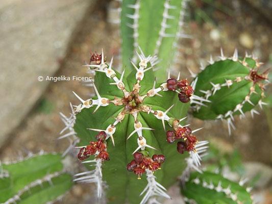 Euphorbia echinus   © Mag. Angelika Ficenc