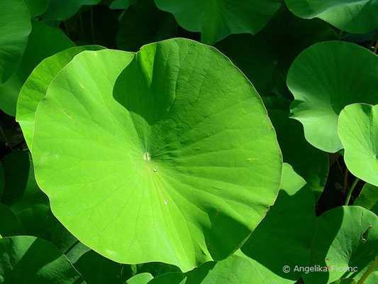 Nelumbo nucifera - Indische Lotusblume
