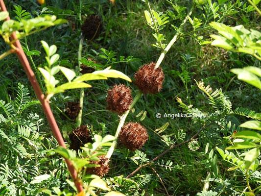 Glycyrrhiza echinata  © Mag. Angelika Ficenc