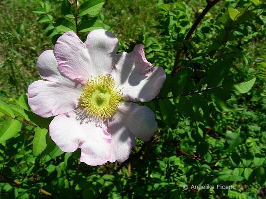 Rosa roxburghii - Igelrose, Blüte
