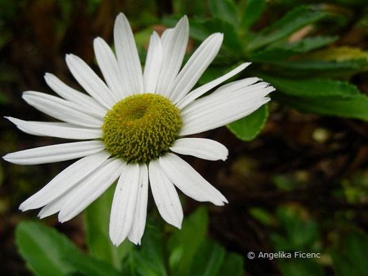 Nipponanthemum nipponicum - Nippon Chrysantheme  © Mag. Angelika Ficenc