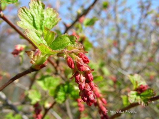 Ribes sanguineum - Blut Johannisbeere,   © Mag. Angelika Ficenc