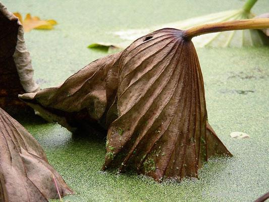 Nelumbo nucifera - Indische Lotusblume  © Mag. Angelika Ficenc